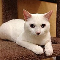Domestic Shorthair Cat for adoption in Miami, Florida - Jerry