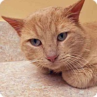 Domestic Shorthair Cat for adoption in Oswego, Illinois - Butkus