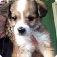 Adopt A Pet :: Champagne - Thousand Oaks, CA