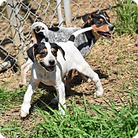 Feist/Cattle Dog Mix Puppy for adoption in Groton, Massachusetts - Acadia