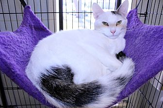 Siamese Cat for adoption in Lumberton, North Carolina - Barney