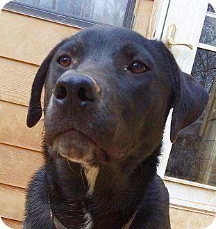 Labrador Retriever/Shepherd (Unknown Type) Mix Dog for adoption in Olive Branch, Mississippi - Merlin