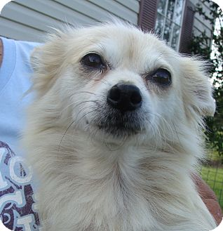 Pomeranian Mix Dog for adoption in Fairmount, Georgia - Farrah Fawcett