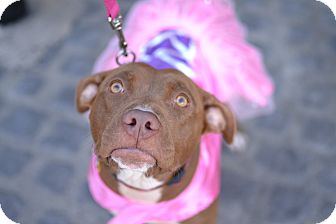 American Pit Bull Terrier/Labrador Retriever Mix Dog for adoption in Los Angeles, California - Rosie