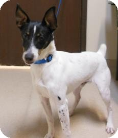 Jack Russell Terrier Mix Dog for adoption in Gary, Indiana - Winter