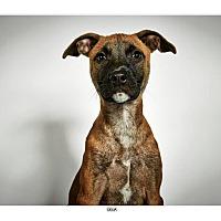 Adopt A Pet :: Delia - New York, NY