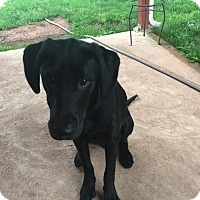 Adopt A Pet :: Duke - Sinking Spring, PA