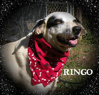 Dalmatian/Labrador Retriever Mix Dog for adoption in Columbia, Tennessee - Ringo