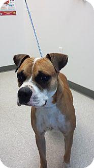 Boxer Mix Dog for adoption in Houston, Texas - Hamilton