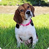 Adopt A Pet :: Petunia- Adoption Pending - Wood Dale, IL