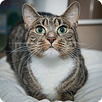 Adopt A Pet :: Spirit - New York, NY