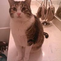 Domestic Shorthair Cat for adoption in Los Angeles, California - Tigra