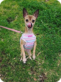 Chihuahua Dog for adoption in Los Angeles, California - Dixie