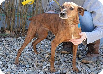Whippet Mix Dog for adoption in Danbury, Connecticut - Feather