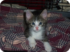 Domestic Shorthair Kitten for adoption in Raritan, New Jersey - Maize
