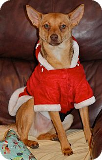 """Spitz (Unknown Type, Small)/Basenji Mix Dog for adoption in Hastings, New York - Wilbur """"Wild Bill"""""""