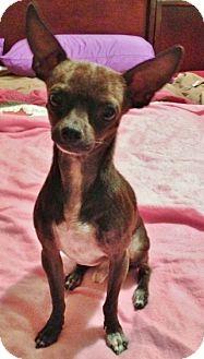 Chihuahua Dog for adoption in AUSTIN, Texas - XROSCO
