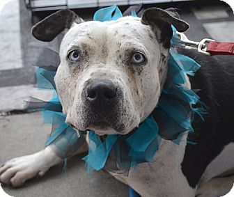 English Bulldog Mix Dog for adoption in Los Angeles, California - Allie - I'm special!