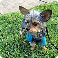 Adopt A Pet :: Gizmo III - Statewide and National, TX