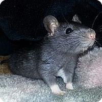 Adopt A Pet :: Black Male - Lakewood, WA