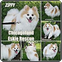 Adopt A Pet :: Zippy - Elmhurst, IL