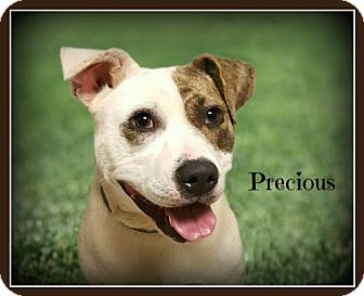 American Staffordshire Terrier Mix Dog for adoption in Doylestown, Pennsylvania - Precious