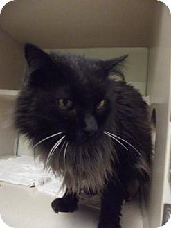 Domestic Longhair Cat for adoption in Cheboygan, Michigan - 20095
