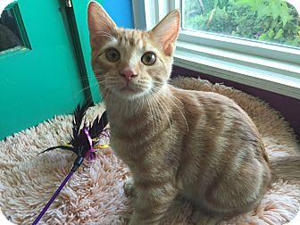 Domestic Shorthair Cat for adoption in Topeka, Kansas - Deuce