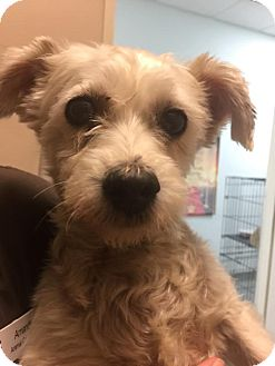 Maltese/Poodle (Miniature) Mix Dog for adoption in Westminster, California - Silver