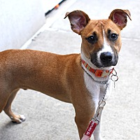 Shepherd (Unknown Type)/Terrier (Unknown Type, Medium) Mix Dog for adoption in Detroit, Michigan - Oscar