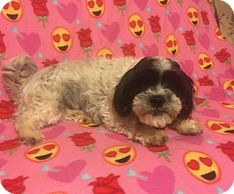 Shih Tzu/Lhasa Apso Mix Dog for adoption in Snyder, Texas - Mattie