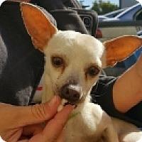 Adopt A Pet :: Yoda - Mesa, AZ