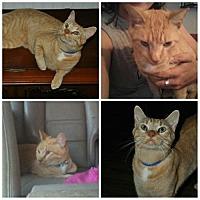 Adopt A Pet :: Tiger - Kohler, WI