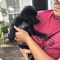 Australian Cattle Dog/Labrador Retriever Mix Puppy for adoption in Beeville, Texas - Puppy one