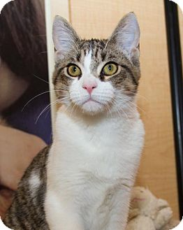 Domestic Shorthair Kitten for adoption in Irvine, California - Martin