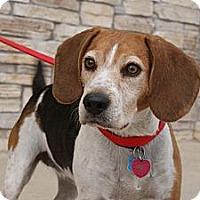 Adopt A Pet :: Joy - Norman, OK