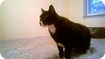 Domestic Shorthair Cat for adoption in Warren, Michigan - Mister Mister