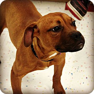 Boxer/Terrier (Unknown Type, Medium) Mix Dog for adoption in East Rockaway, New York - Alice