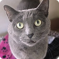 Adopt A Pet :: Concertina - Chicago, IL
