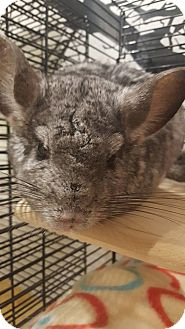 Chinchilla for adoption in Patchogue, New York - Rocky II
