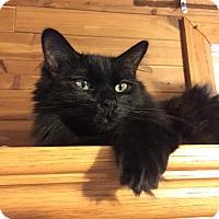 Domestic Longhair Cat for adoption in Warren, Michigan - Luca