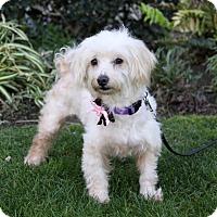 Adopt A Pet :: SHANNON - Newport Beach, CA