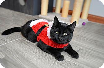 Domestic Shorthair Cat for adoption in Xenia, Ohio - Skittles