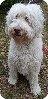 Poodle (Standard)/Golden Retriever Mix Dog for adoption in Alpharetta, Georgia - Murphy