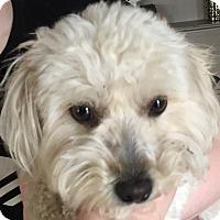 Poodle (Miniature)/Pomeranian Mix Dog for adoption in Kansas City, Missouri - Phog