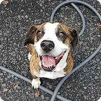 Adopt A Pet :: Tyson - Pottsville, PA