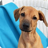 Hound (Unknown Type)/Terrier (Unknown Type, Medium) Mix Puppy for adoption in Pittsburgh, Pennsylvania - Morgan