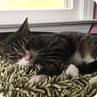 Adopt A Pet :: Nicoles Cat - Hudson, NY