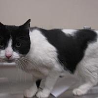 Adopt A Pet :: DOVEY - Reno, NV