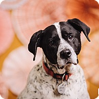 Pointer/Dalmatian Mix Dog for adoption in Portland, Oregon - B.G
